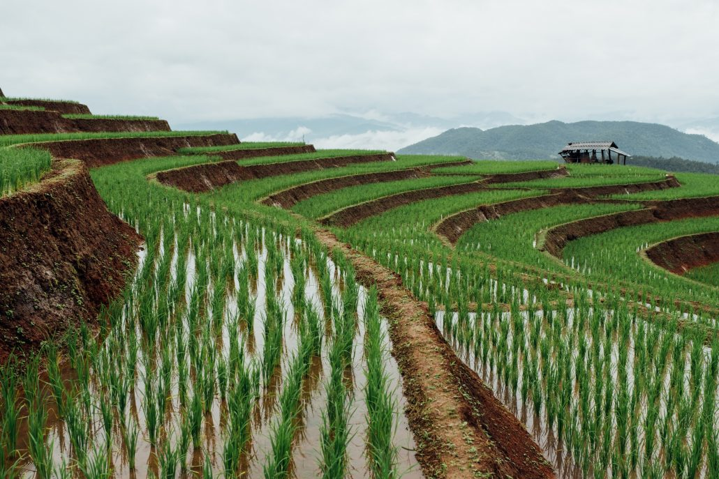 Surface irrigation in Thailand watering a rice field